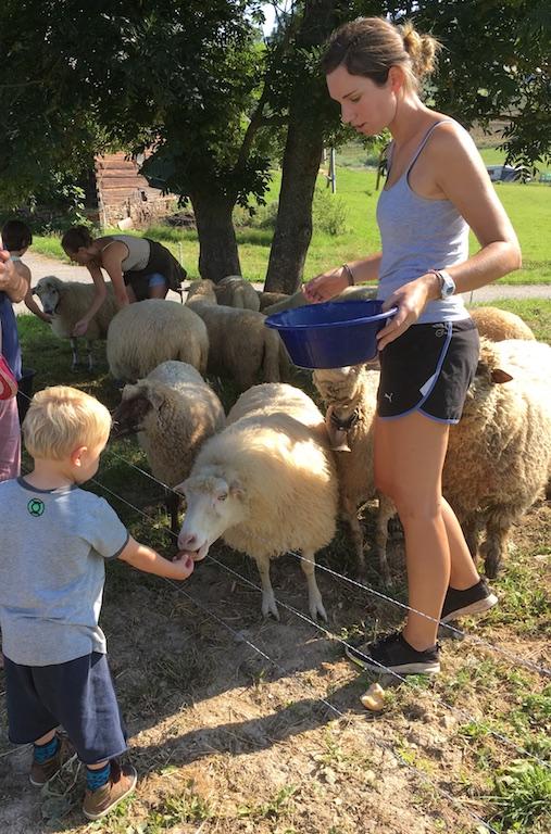 Boerenhof voeren schapen